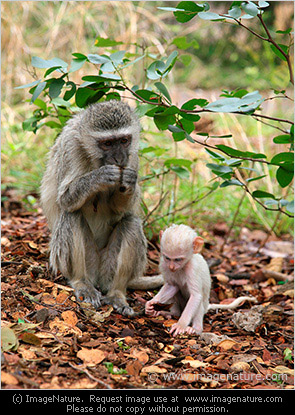 Vervet Monkey mother with albino baby
