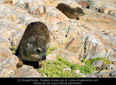 Cape Hyrax, or Rock Hyrax - the smallest living relative of elephant