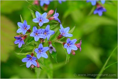 Agastache foeniculum (Blue Giant Hyssop): Minnesota Wildflowers