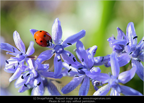 Ladybird on blue spring flowers photo spring photo images of ladybird on blue spring alpine squill scilla bifolia flower photo mightylinksfo