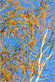 Blossoming birch tree with blue sky photo