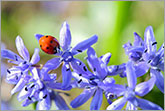 Ladybird on blue spring flower photo