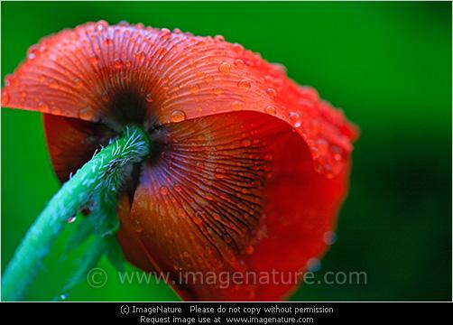 Red poppy flower with rain drops photo secret garden photos red poppy flower with rain drops photo mightylinksfo